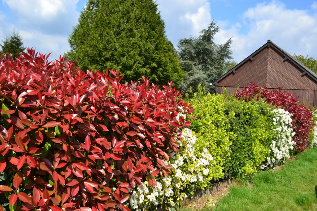 Good hedge plants in a range of colours