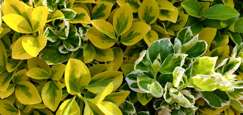 Colourful Variegated Hedge Leaves