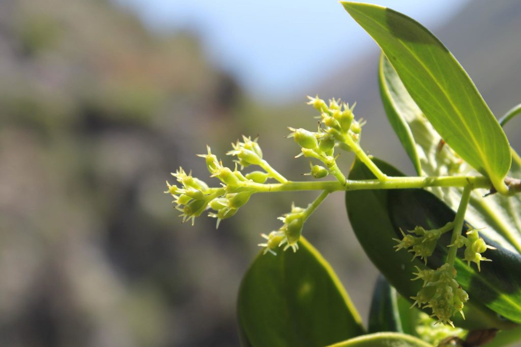 Griselinia Flowers by Patricio Novoa Quezada on Flickr