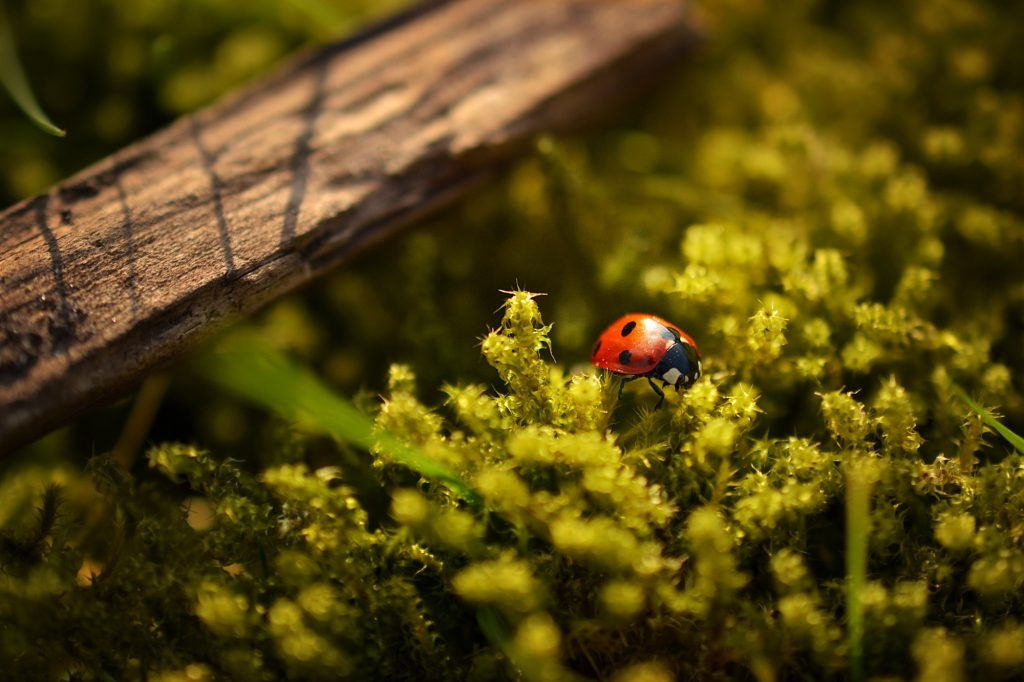 Ladybirds are an important part of Hedgerow Wildlife