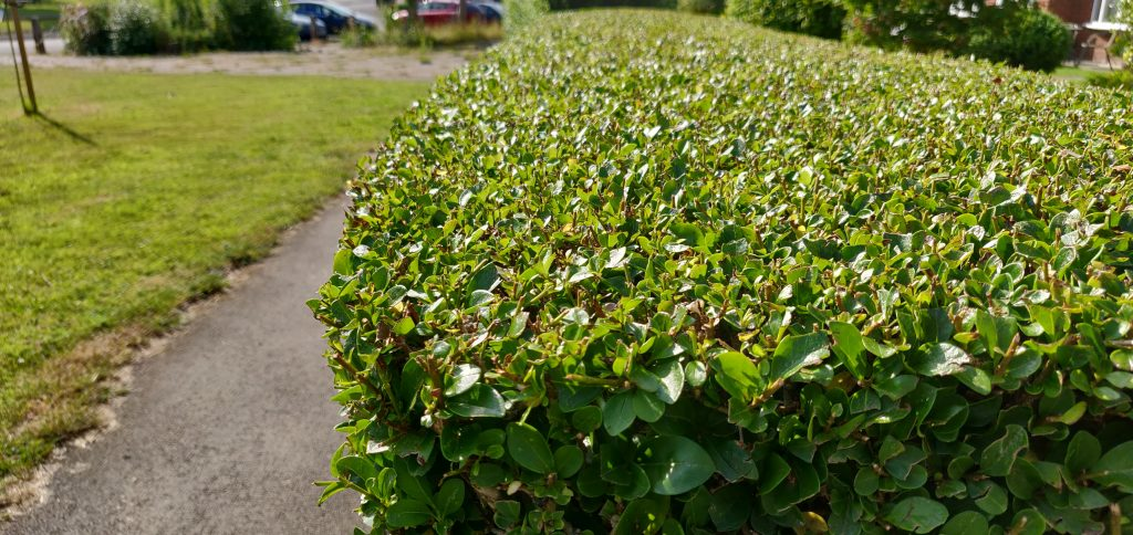 Hedge Trimming - A Beginner's Guide