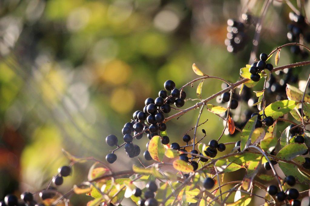 Privet Berries by Florin Birjoveanu from Pixabay.jpg