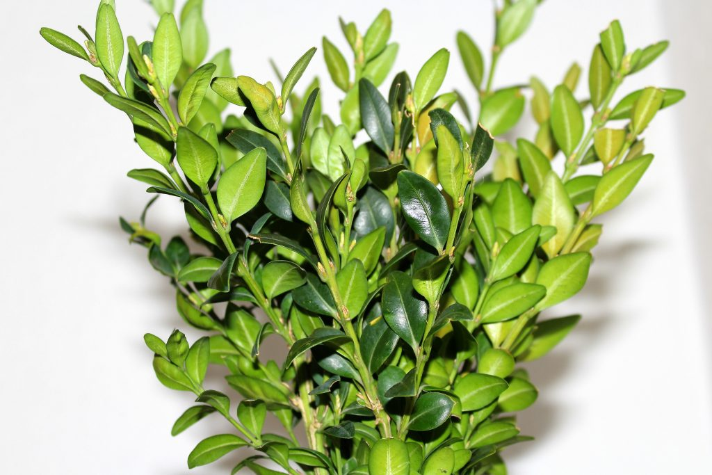 Topiary for beginners - start with boxwood