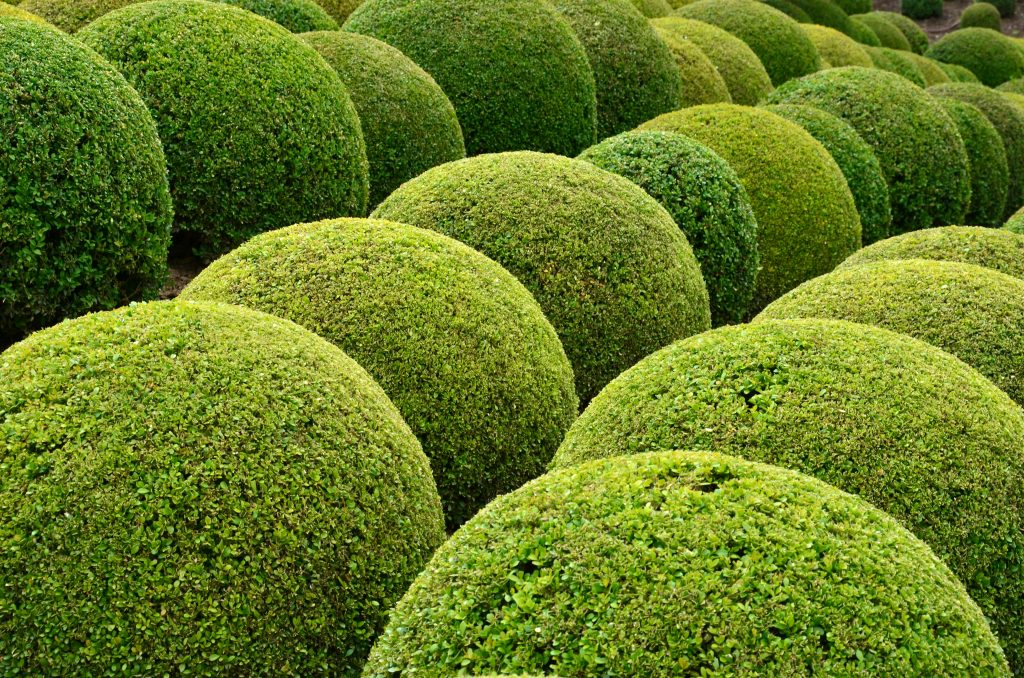 One topiary ball leads to another