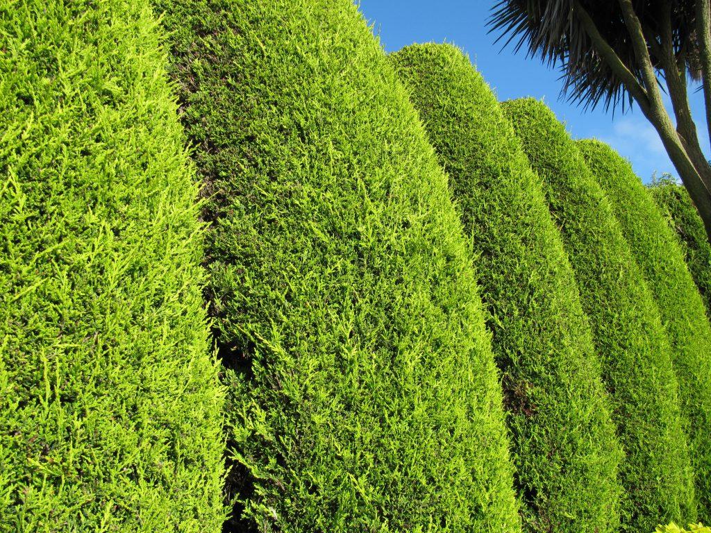 Golden Leylandii Hedge by Leonora Enking on Flickr
