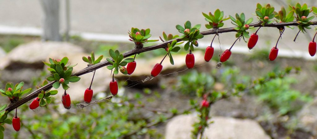 Barberry branches