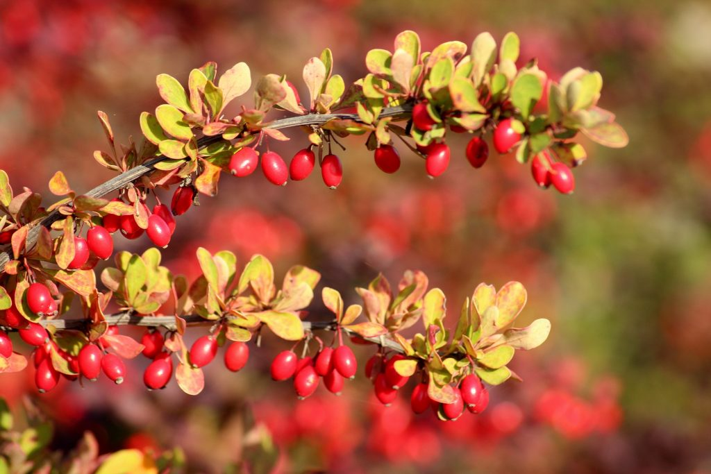 Fruiting Barberry