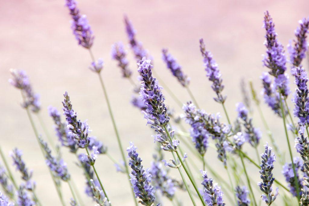 Lavender Flowers by Janine Joles on Unsplash