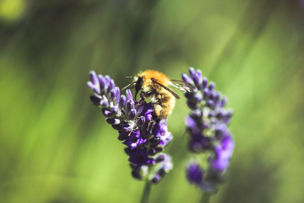 Lavender Flowers by Loic Mermilliod on Unsplash