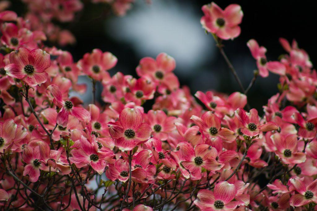 Dogwood Hedge Flowers