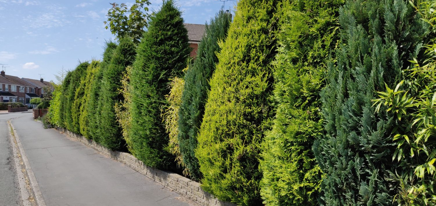 A selection of leylandii on a boundary