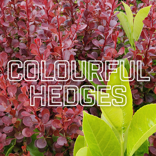 Recommended Colourful Hedges | TrimHedge