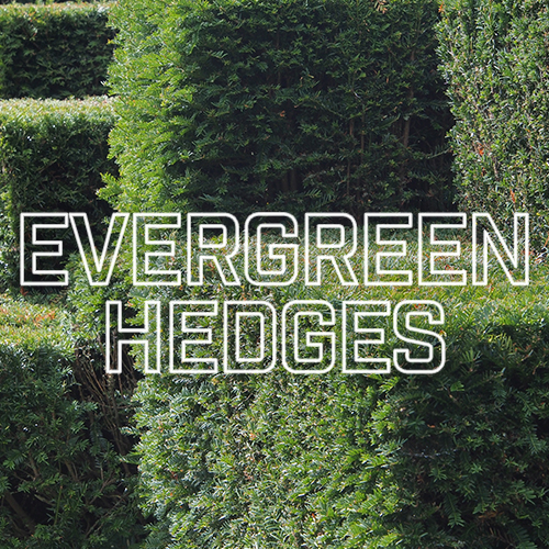 Recommended Evergreen Hedges | TrimHedge