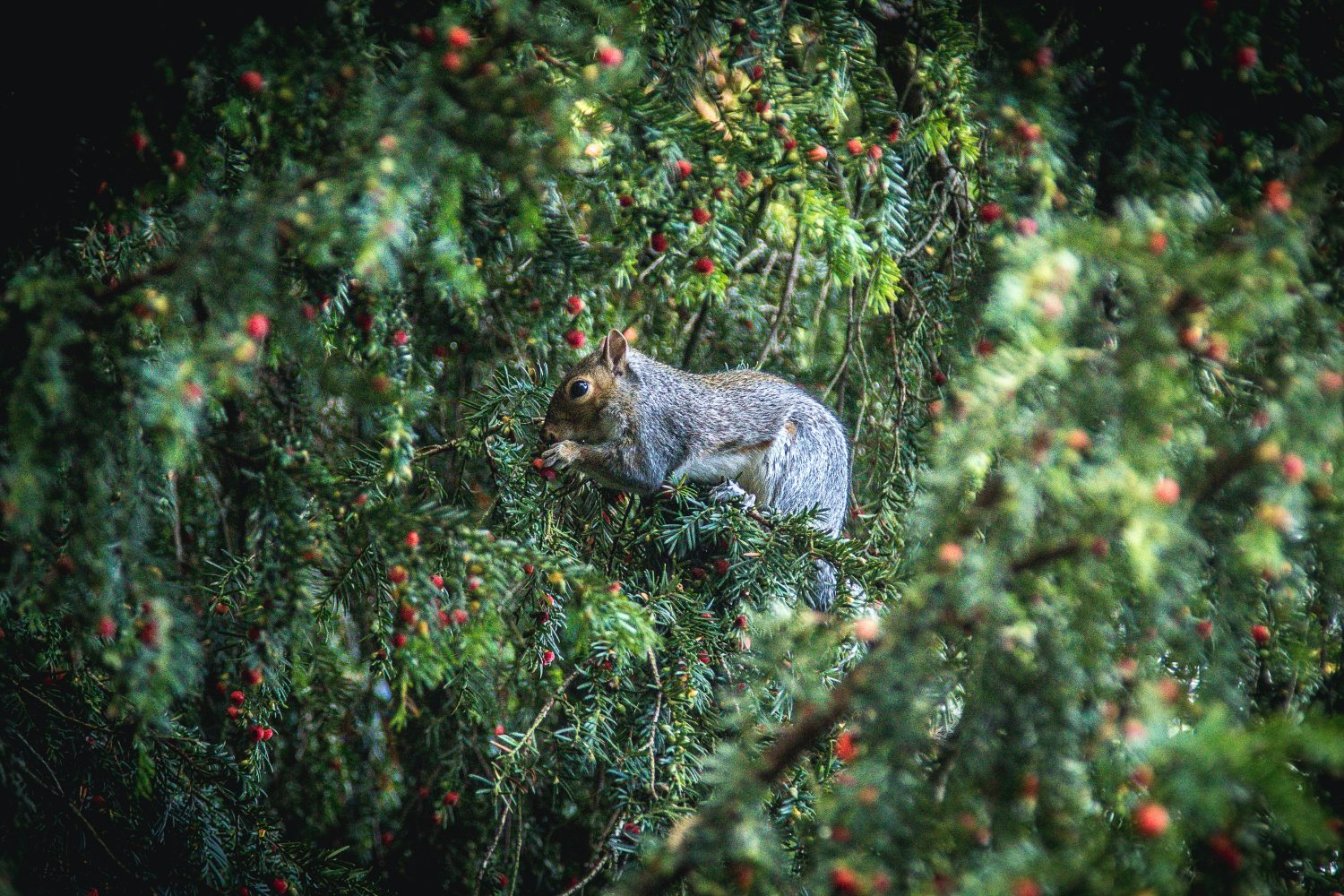 Yew Hedge & Squirrel