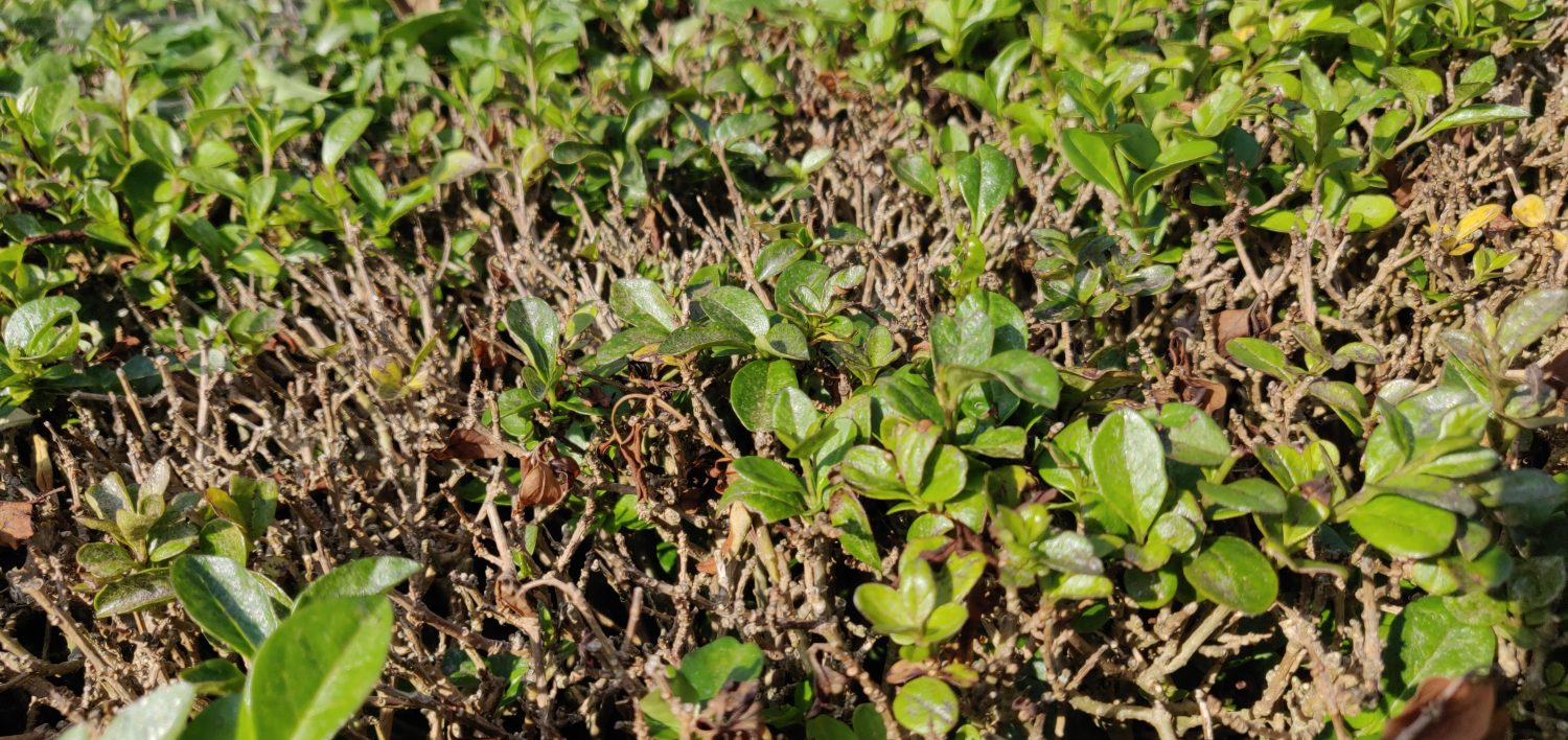 A Hedge With New Growth