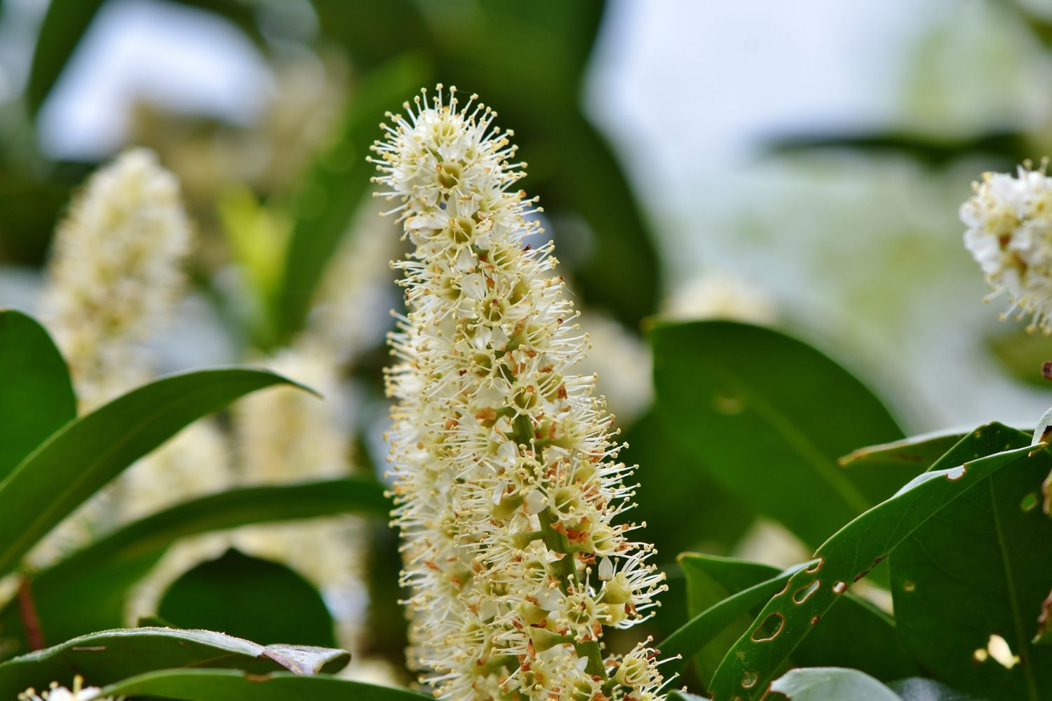 Cherry Laurel Flowers