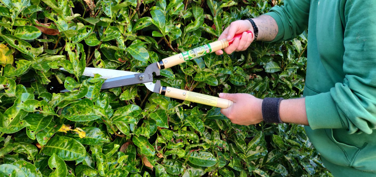 Cutting Back A Hedge With Shears