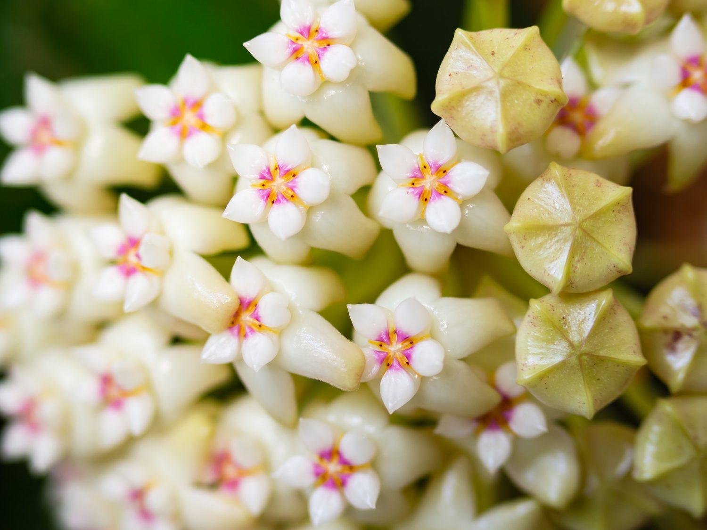 Hoya Wax Plant