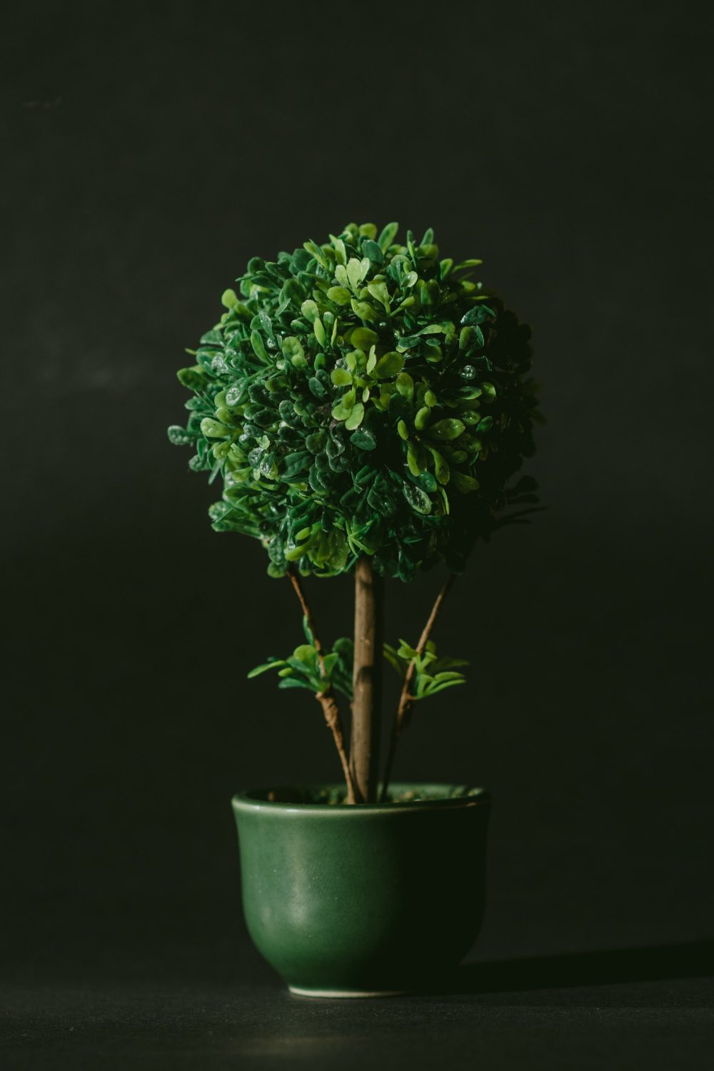 How To Grow And Maintain Indoor Topiary A Complete Guide Trimhedge Hedge Trimming Topiary