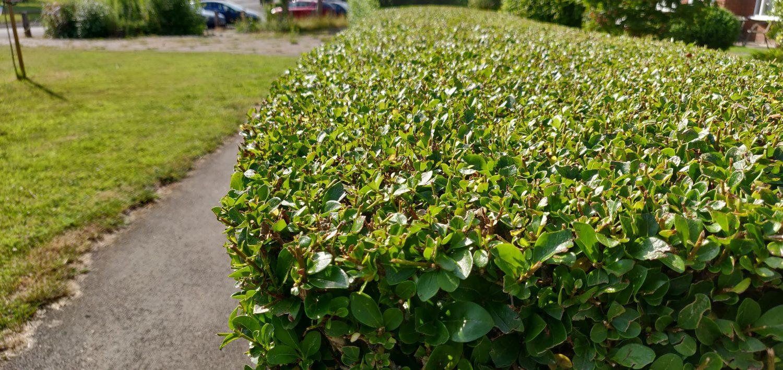 Boundary Boxwood Hedge